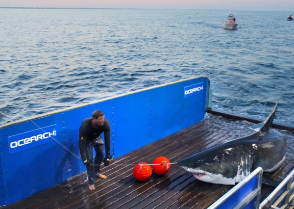 Ocearch tagging Mary Lee Shark - Example Data Storytelling